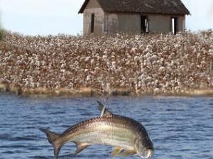 Les poissons bondissent et le coton pousse...